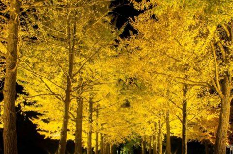 茨城県立歴史館-銀杏並木-ライトアップ-紅葉-いちょう並木-茨城県紅葉スポット